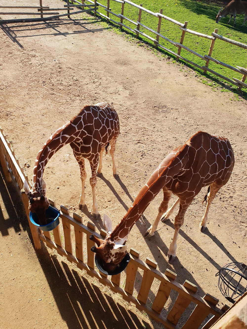 Two giraffes at The Wild Place