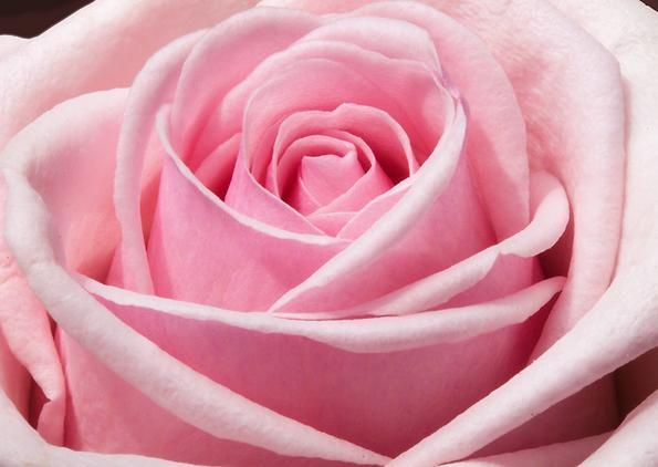 Pouvoir de la Rose.png