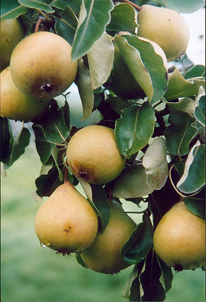 300dpi Berllanderi Pears.jpg