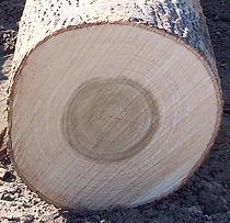 杨木,美国原木