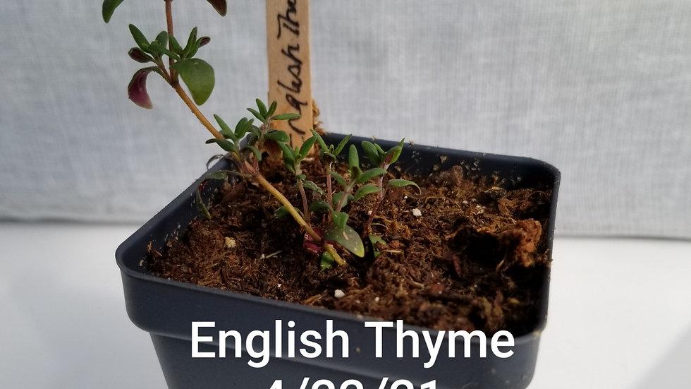 English Thyme