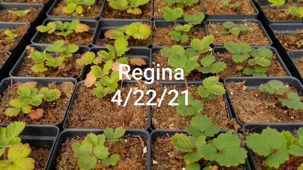 Regina Strawberry