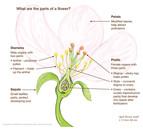 flower_parts.jpg