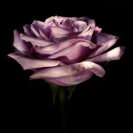 Rosa con luz dirigida