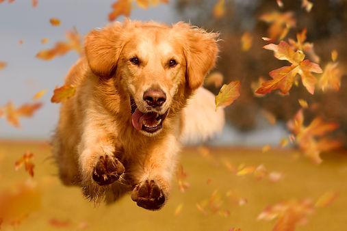 Dog, golden retriever jumping through au