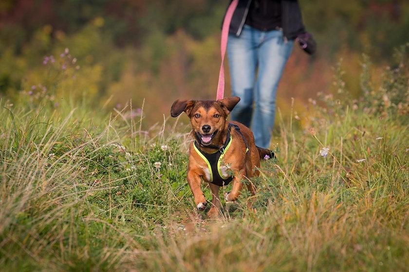 Mantrailing Dog.jpg