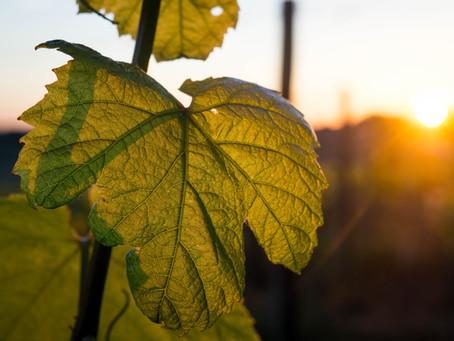 Projeto PARRA - Plataforma Integrada de Monitorização e Avaliação da Flavescência Dourada na vinha