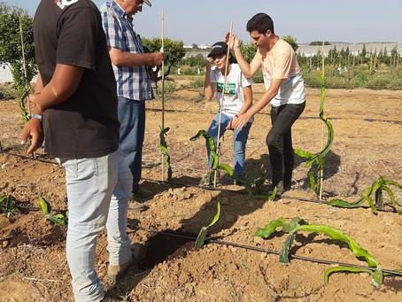 Plantação de pitaia - Manta Rota, Algarve