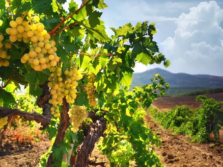 É a doença da Flavescência Dourada uma ameaça para a vitivinicultura portuguesa?