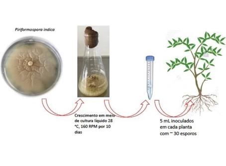 Inoculação com microrganismos benéficos