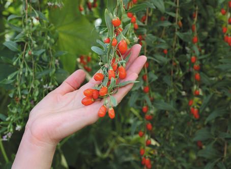 Goji Berries - Benefícios das Bagas Goji