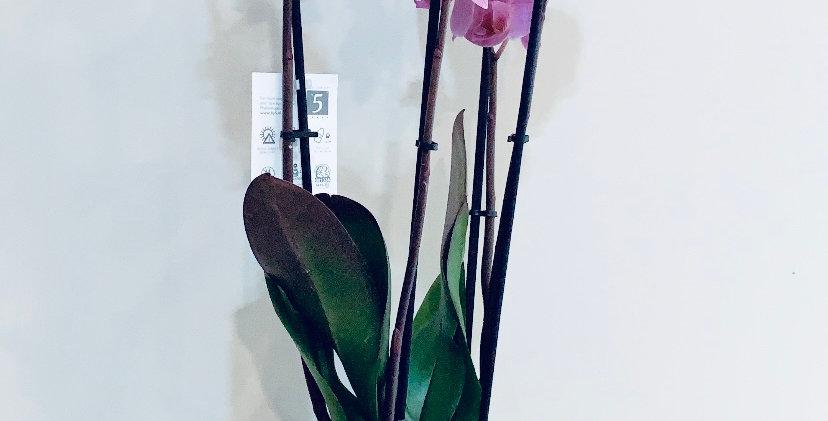 Phalaenopsis Grande 3 ramas + macetero