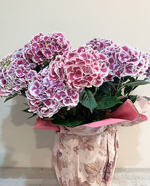 Hortensia multicolor