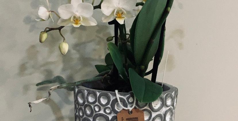 Phalaenopsis MINI + macetero