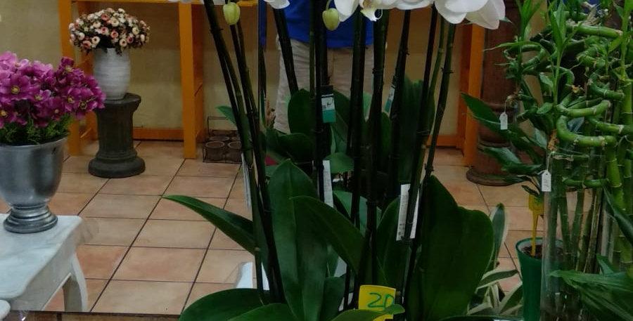 Conjunto de 4 orquideas blancas