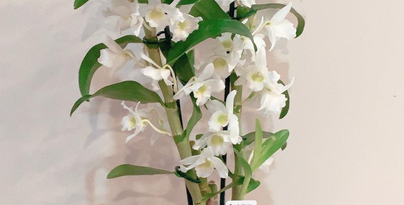 Dendrobium + macetero