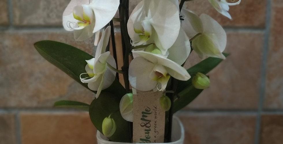 Planta Phalaenopsis