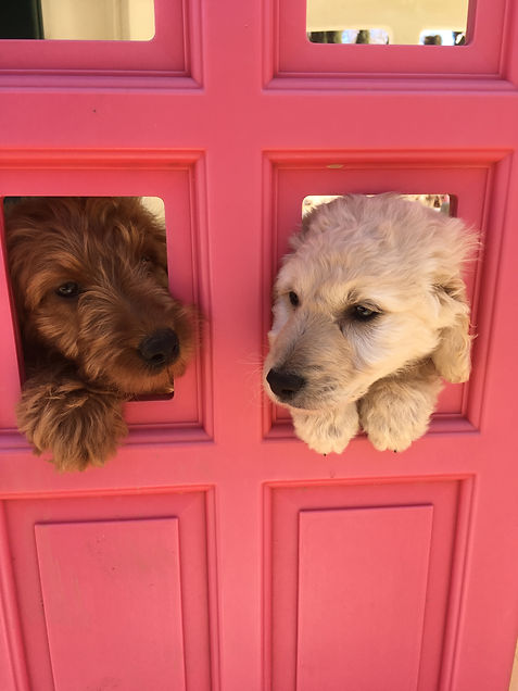 f2b golden doodles for sale southern california