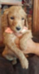 Annie X Lil Reds Med Australian Labrdoodles Multi Gen 5 Males vail