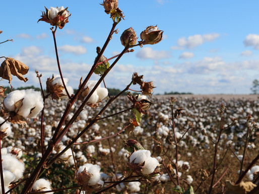 Cotton: The Crop's Controversy