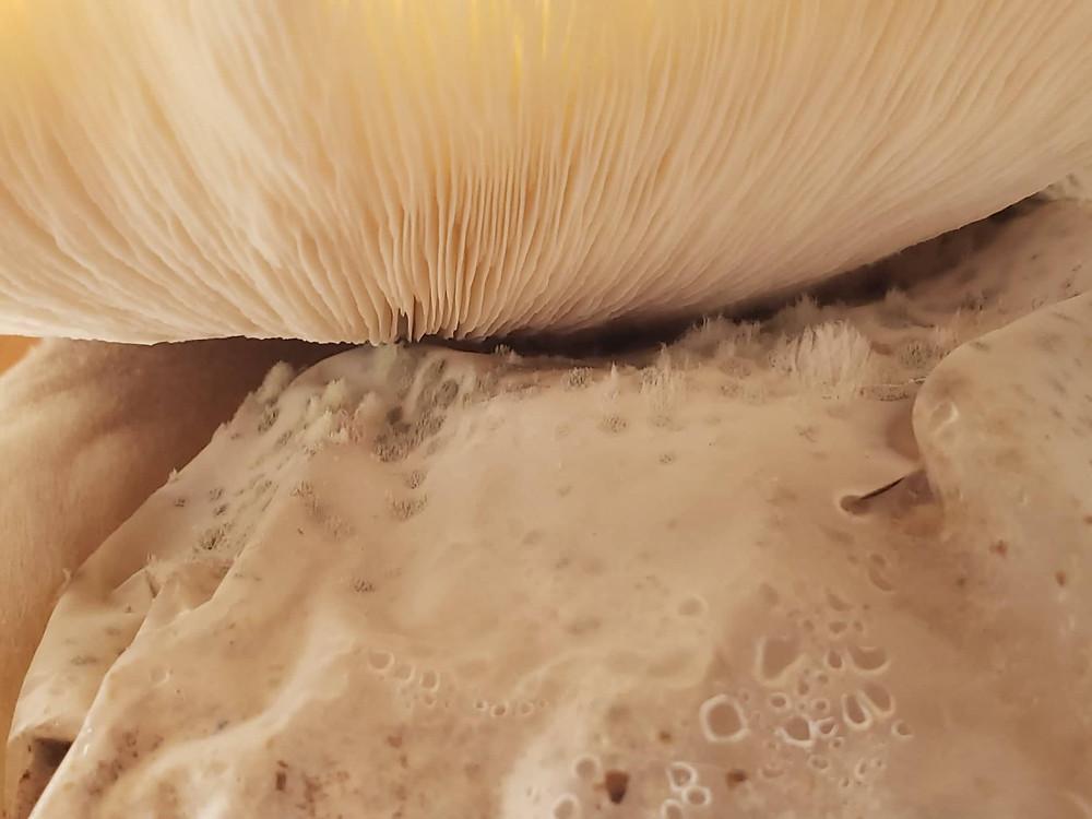 Pleurotus parsonsiae spore load