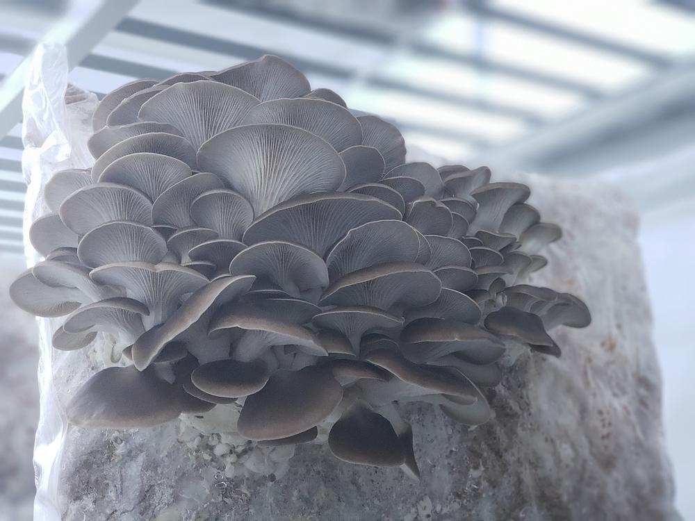 Phoenix oyster mushroom fruiting