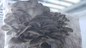 Fruiting Oyster Mushrooms