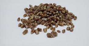 Using Grain Spawn