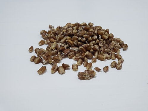 Morchella Esculenta - Morel Grain Spawn