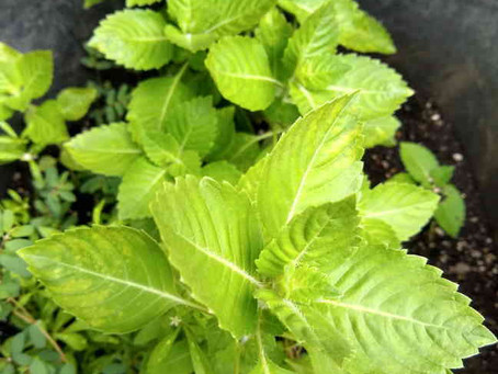 Holy Basil! For stress support in uncertain times