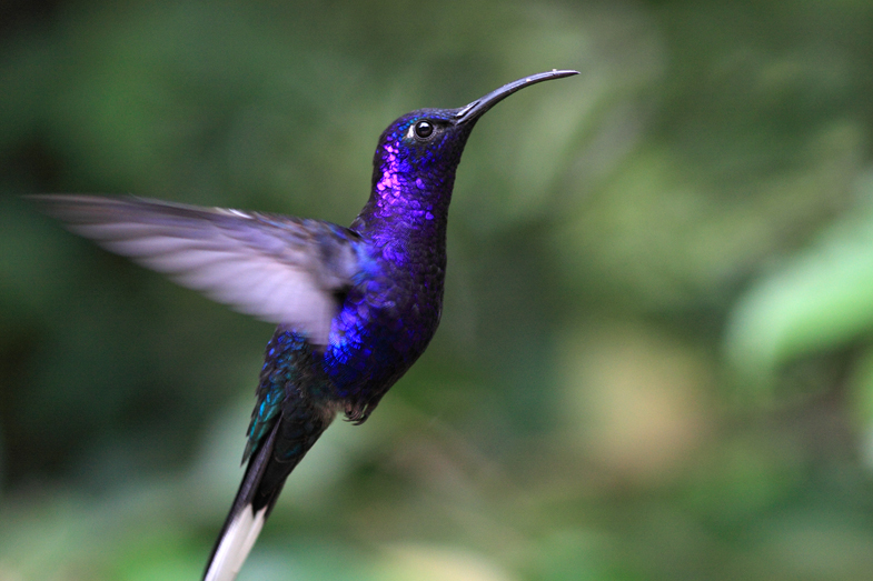 See Blue Hummingbirds