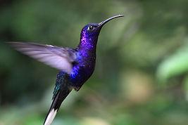colibri violet vol fondu espace le colibri vallon pont d'arc le projet