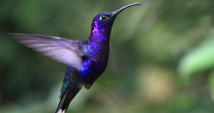 Blu Hummingbird