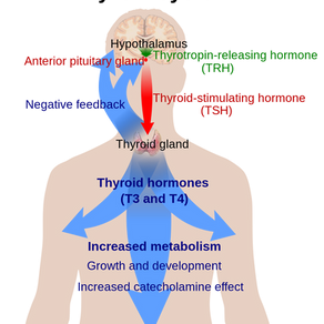 How Is My Thyroid Gland Affecting Me?