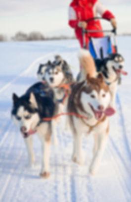 Chien de traîneau, neige, montagne, Megève, Cordon, location de vacances chalet les Cerises