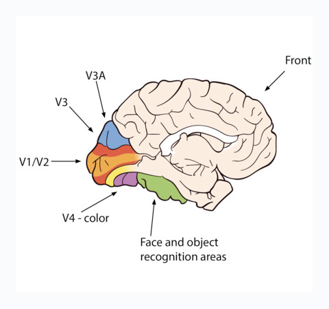 Areas responsible for vision processing.