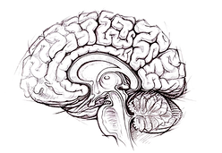 Brain-PNG-Photo.png