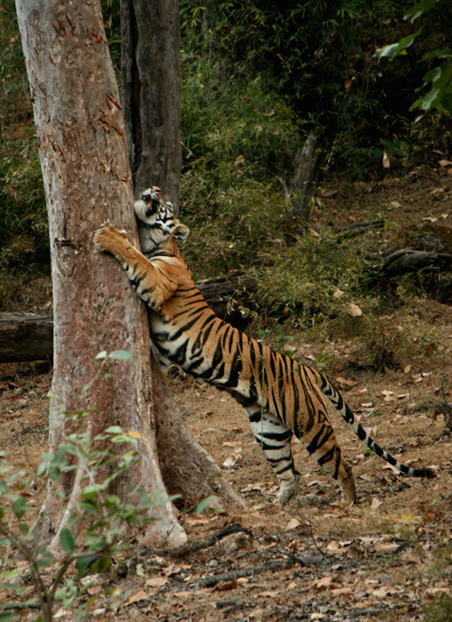 Tiger marking territory. Source: Tigers!
