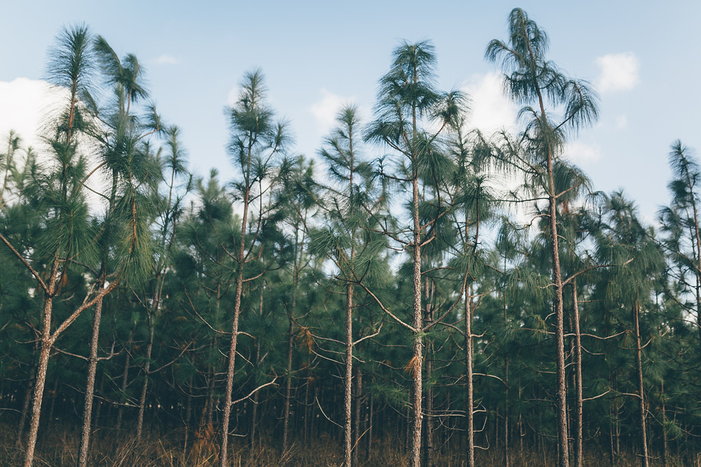Sapp_PineTrees