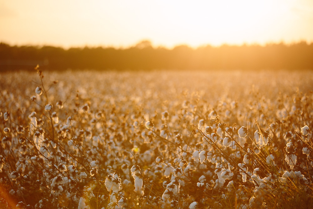 Sunset in cotton field