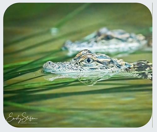 Baby Alligators Mouse Pad