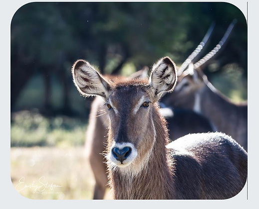 Waterbuck Mouse Pad