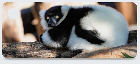 White & Black Ruffed Lemur Keychain