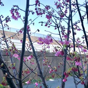 今年も、どこかで咲いている。Dai桜🌸