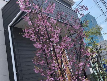 Dai桜🌸満開です