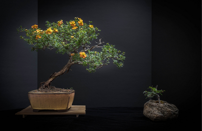 potentilla bonsai