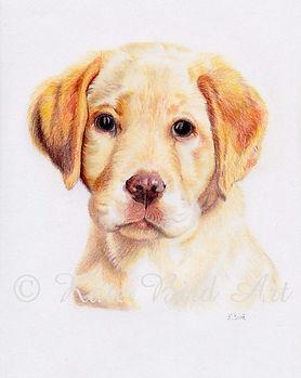 Pet Portrait Coloured Pencil Drawing, Labrador