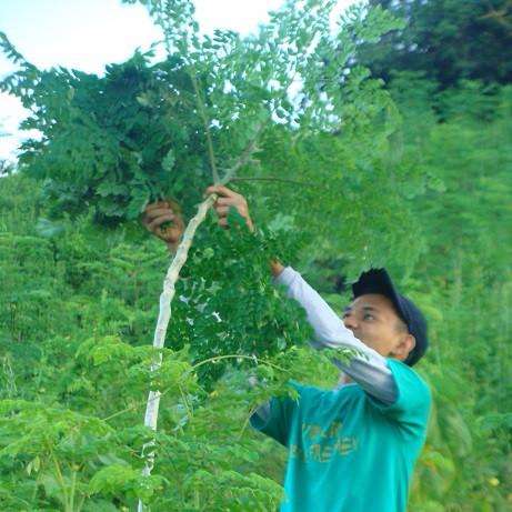 荒れた乾燥地や汚れた水しかない地域でも育つモリンガツリー