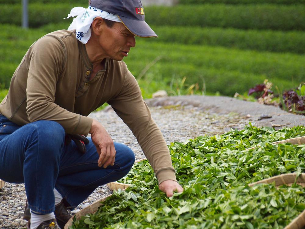 お茶畑が広がります