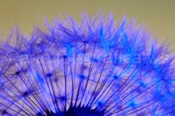 Blaue-Vielzahl